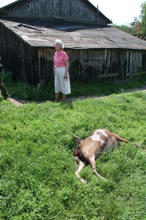 odgryziona głowa kozy